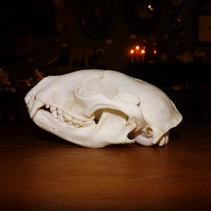 Image of Raccoon Skull