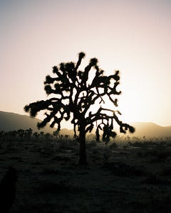 Image of Joshua Tree Sunset - 8x10