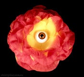 Image of Eye Flower - Orange