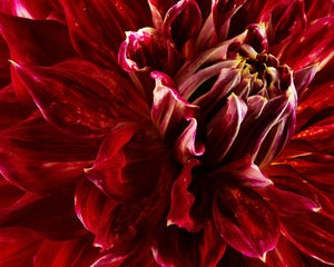 Image of Deep Red Dahlia