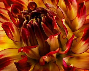 Image of Red / Yellow Dahlia