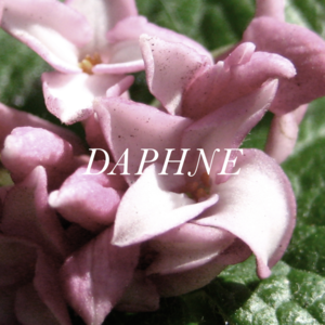 Image of Daphne All-Natural Perfume