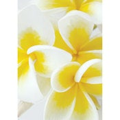 Image of Frangipani Flowers