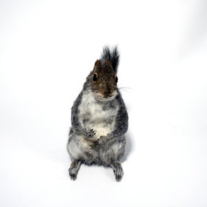 Image of squirrel - SOLD