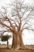 Image of Baobab Tree - Print