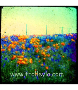 Image of ♥CALIFORNIA POPPIES♥
