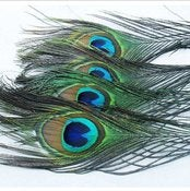 Image of SALE! Peacock Feathers 10-12&quot; Pack of 10 (buy 5 packs get 1 free)