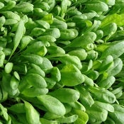 Image of Spinach - Santana