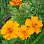 Image of Marigold – Single gold