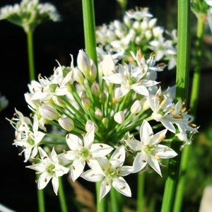 Image of Garlic chives