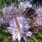 Image of Phacelia