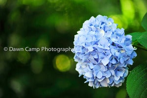 Image of Hydrangea 8&quot; x 12&quot; Standout Professionally Printed on Metallic Paper