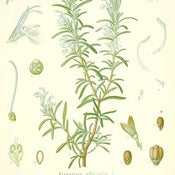 Image of Rosemary Essential Oil (5 ml)