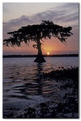 Image of Solitary Cypress