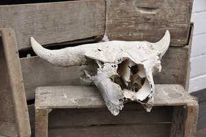 Image of Buffalo Skull