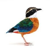 Image of BLUE WINGED PITTA