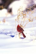 "Image of ""Red Bird in Snow"" - Signed Canvas Giclee'"