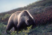 Image of The Griz - Alaska (Photo of the Week 9/52)